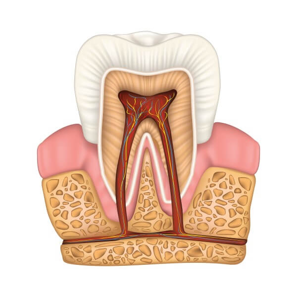 illustration of the inside of a tooth and gums